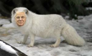 arctic-fox-standing